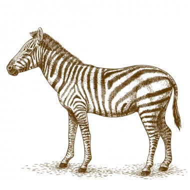 engraving  illustration of zebra