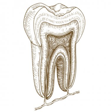 engraving  illustration of human tooth structure