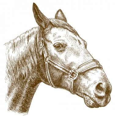engraving illustration of horse head