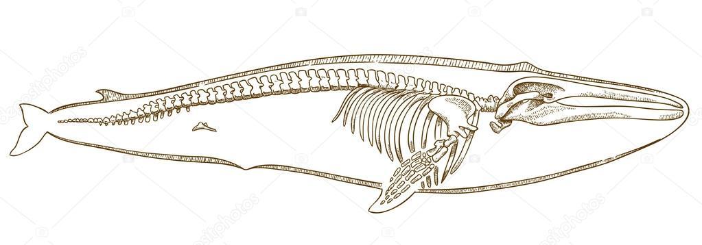grabado de la ilustración del esqueleto de ballena — Archivo ...