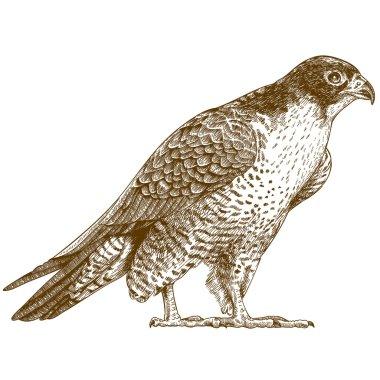 engraving illustration of falcon