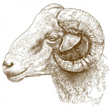 engraving  illustration of ram head