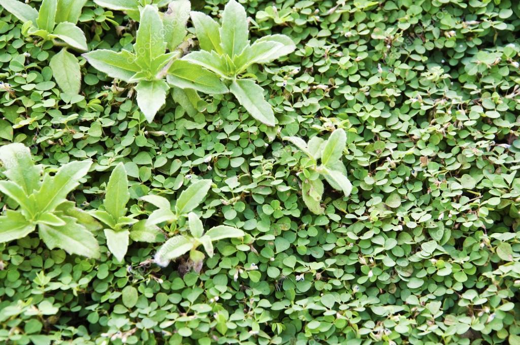 Green Garden Hedge Pattern Wallpaper Stock Photo