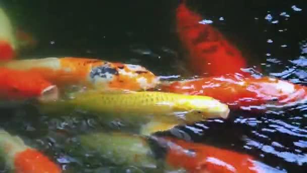Koi nebo ozdobný kapr plavání v rybníku