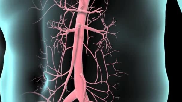 Detailní záběr břišní oblasti lidského muže s průhlednou kůží ukazující plíce, srdce, játra, žaludek, střeva, skeletální systém a kardiovaskulární systém