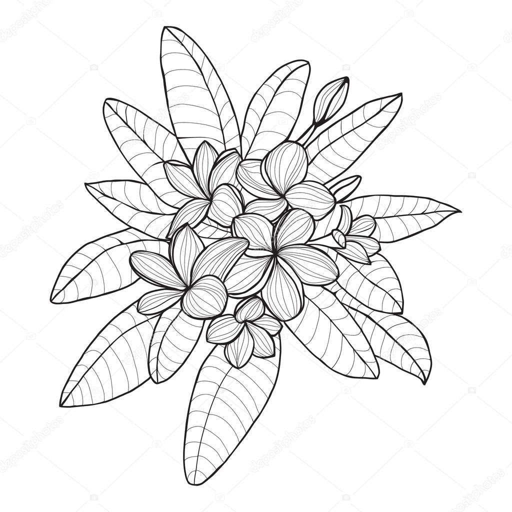 Ramo con flor Plumeria o Frangipani en fondo blanco — Archivo ...