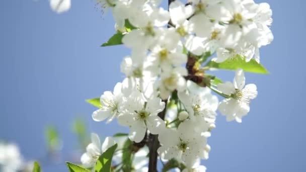 Fehér Alma vagy virágok cseresznye fa
