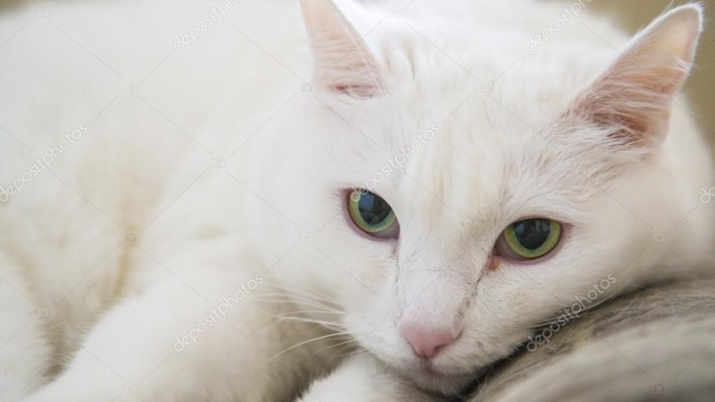 Gatto bianco con occhi verdi\u2013 immagine stock