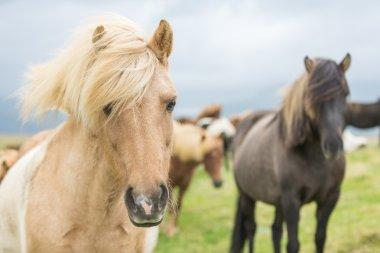 Close portrait of Icelandic Wild Horses