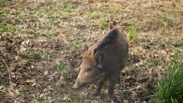 Erdei ökoszisztémában élő vaddisznóhús, vadon élő állatok környezete, vadon élő állatok