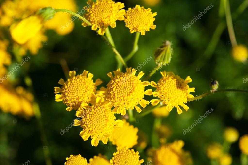 Макросъемка полевые цветы