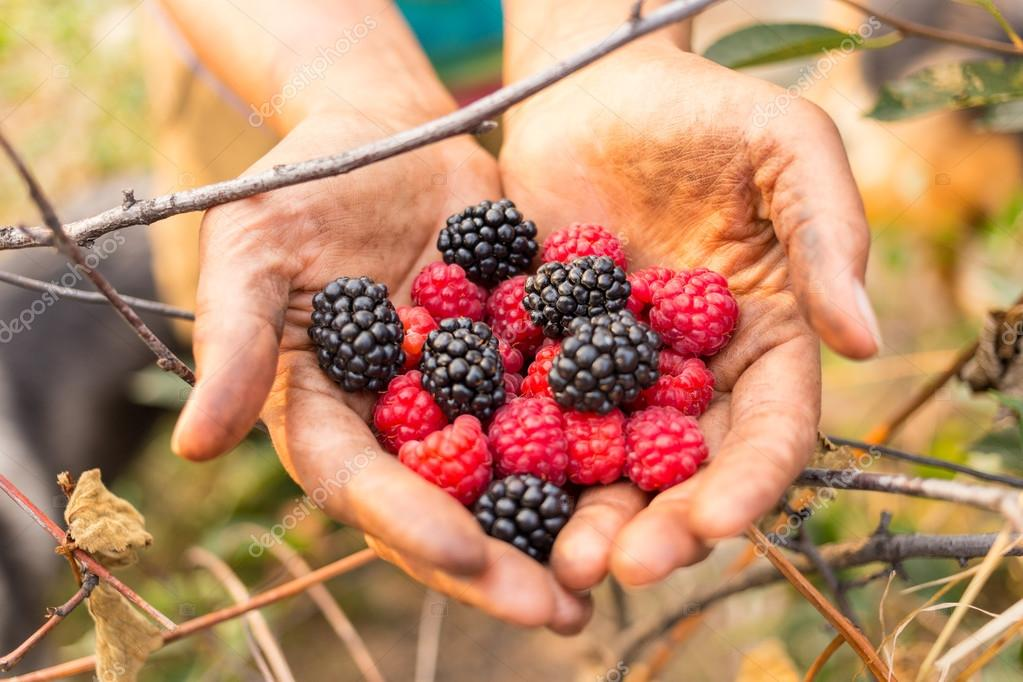 Ripe raspberry in the hands of