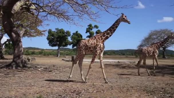 a Rothschildok zsiráf csoport