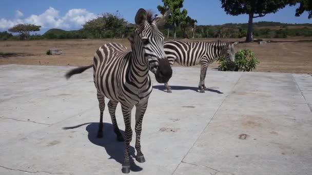 plains Zebra in natural habitat, South Africa