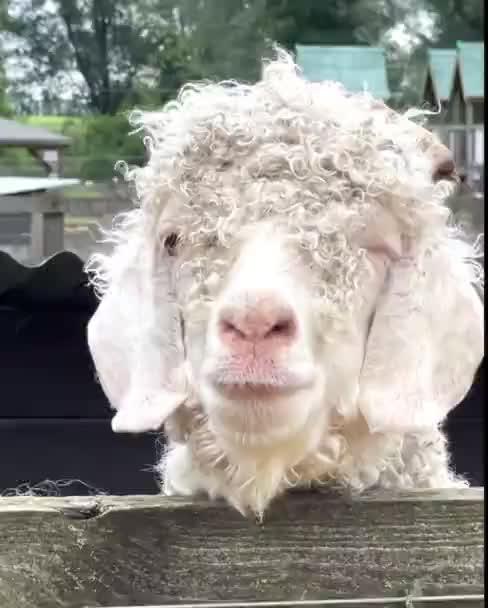 Schafskopf, Schafzwinkern, lustige Tiere