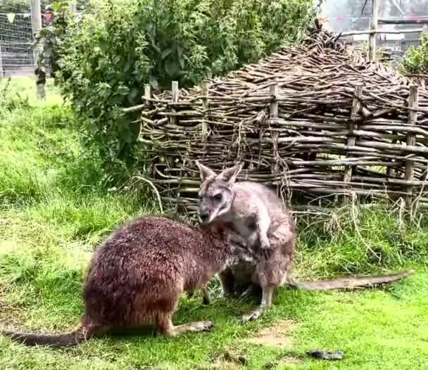 Zwei Kängurus spielen miteinander, lustige Tiere draußen