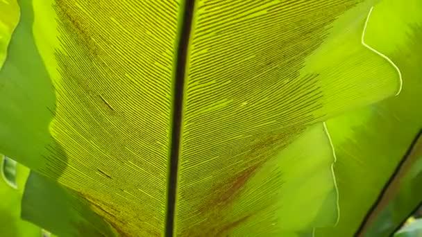 Zöld levél Madárfészekpáfrány (Asplenium nidus))