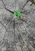 Fotografia Semenzale verde che cresce dal ceppo di albero