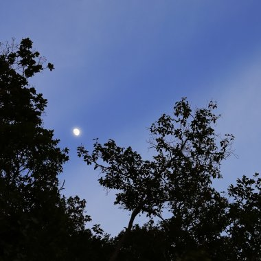 Real bright harf moon behind some tree branches