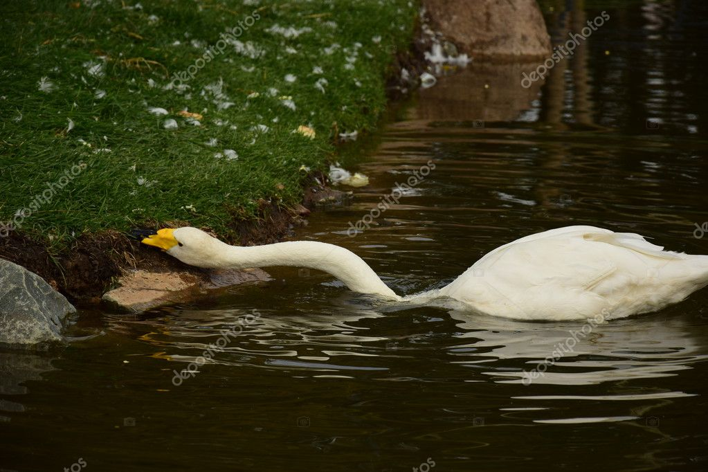 Swan tearing pieces of food from a bush on the bank