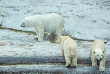 Polar bear with cubs.