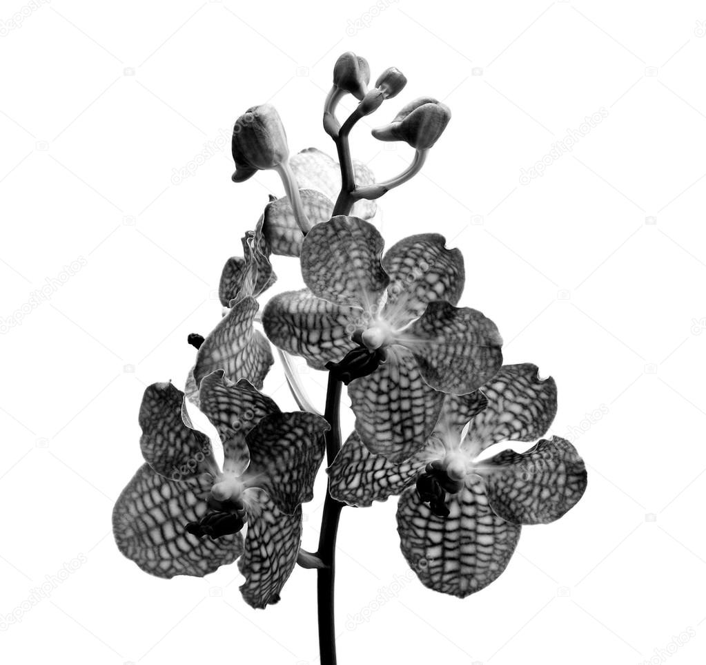 Orchid black and white on white background.