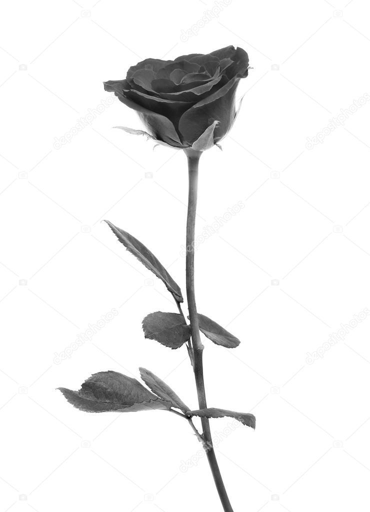 Black rose on over white background