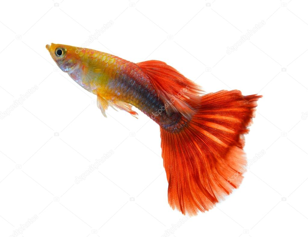 guppy fish isolated on white background — Stock Photo © sommaill ...