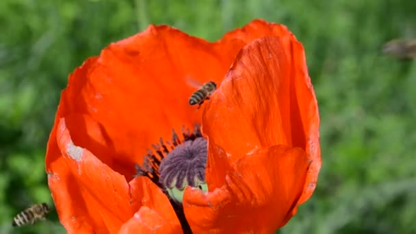 flower red poppy and bees