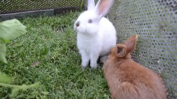 New Zealand and California rabbits