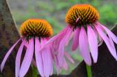 Fotografie Echinacea