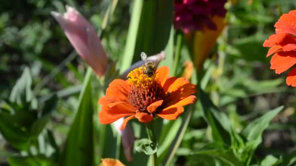 Zinnia  and a bee