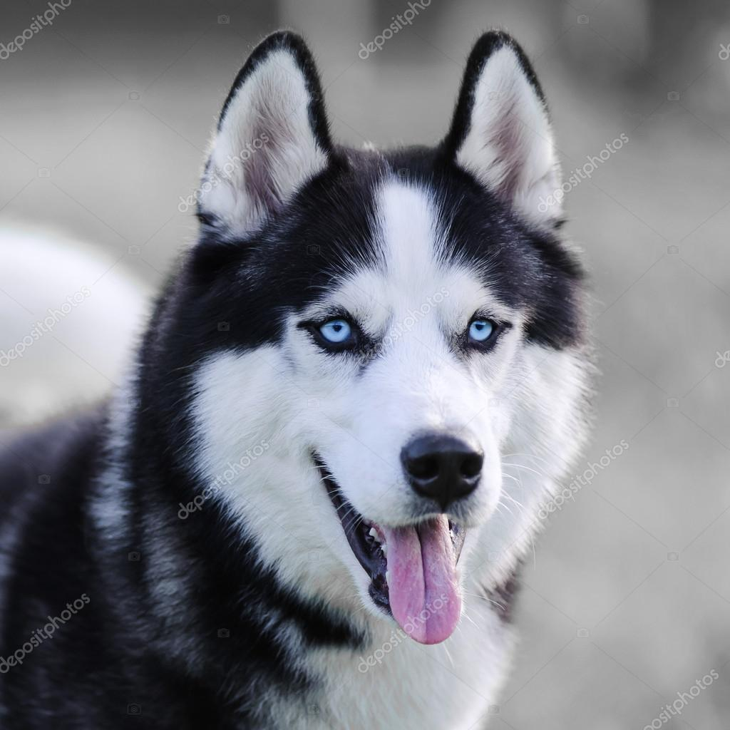 Siberian Husky Dog Stock Photo C Format35 96623810