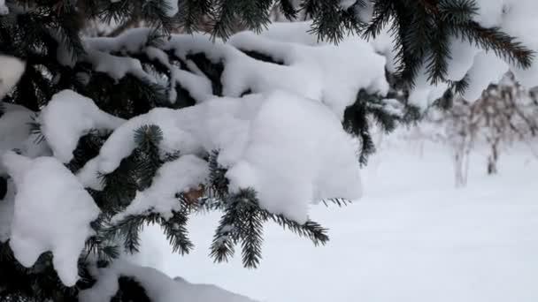 Žena ve vlněných rukavicích třese sněhem z jehličnaté větve stromu