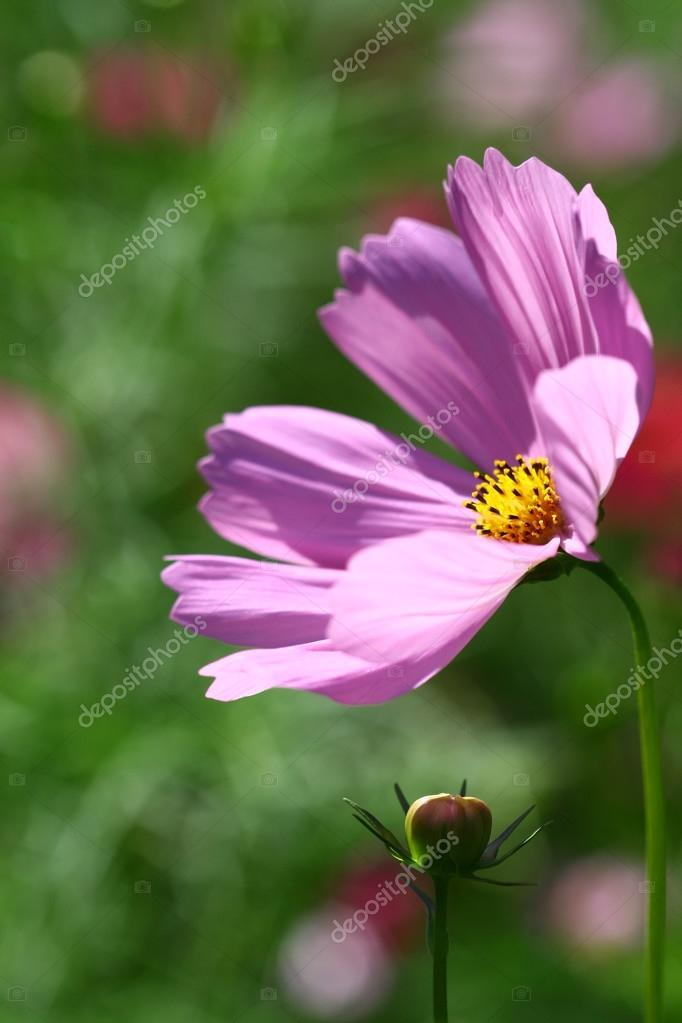 Bee pollinated on deep purple cosmos flower