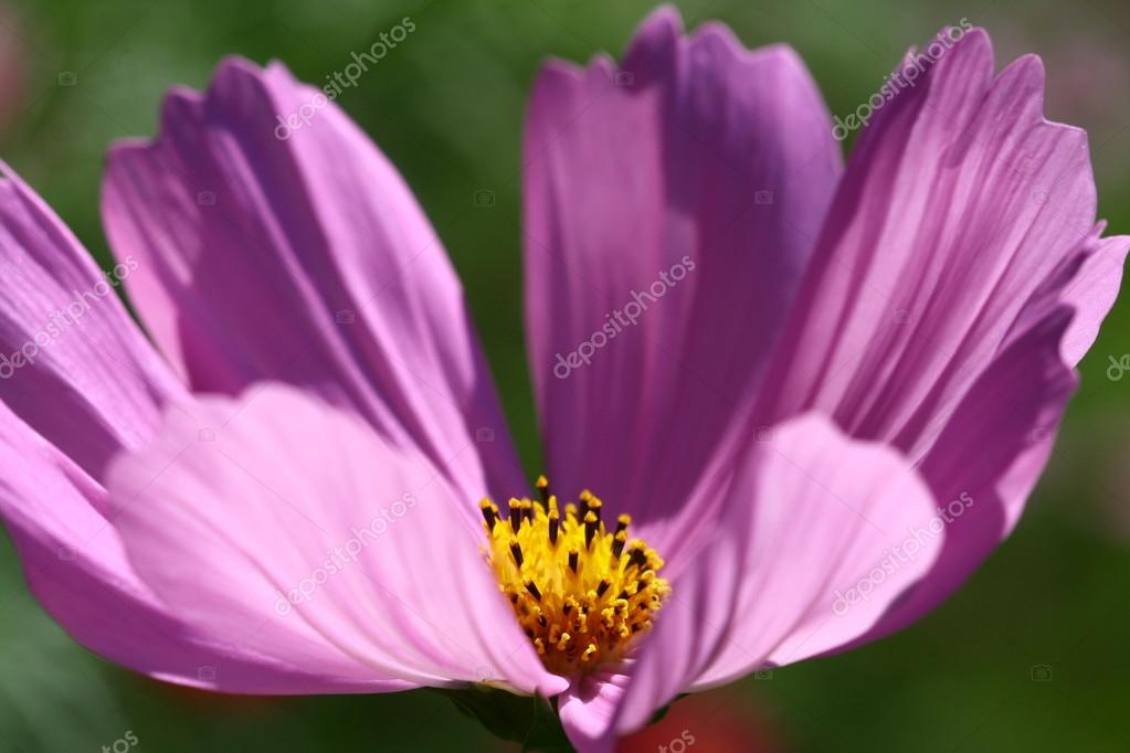 Bee pollinated on deep purple cosmos flower
