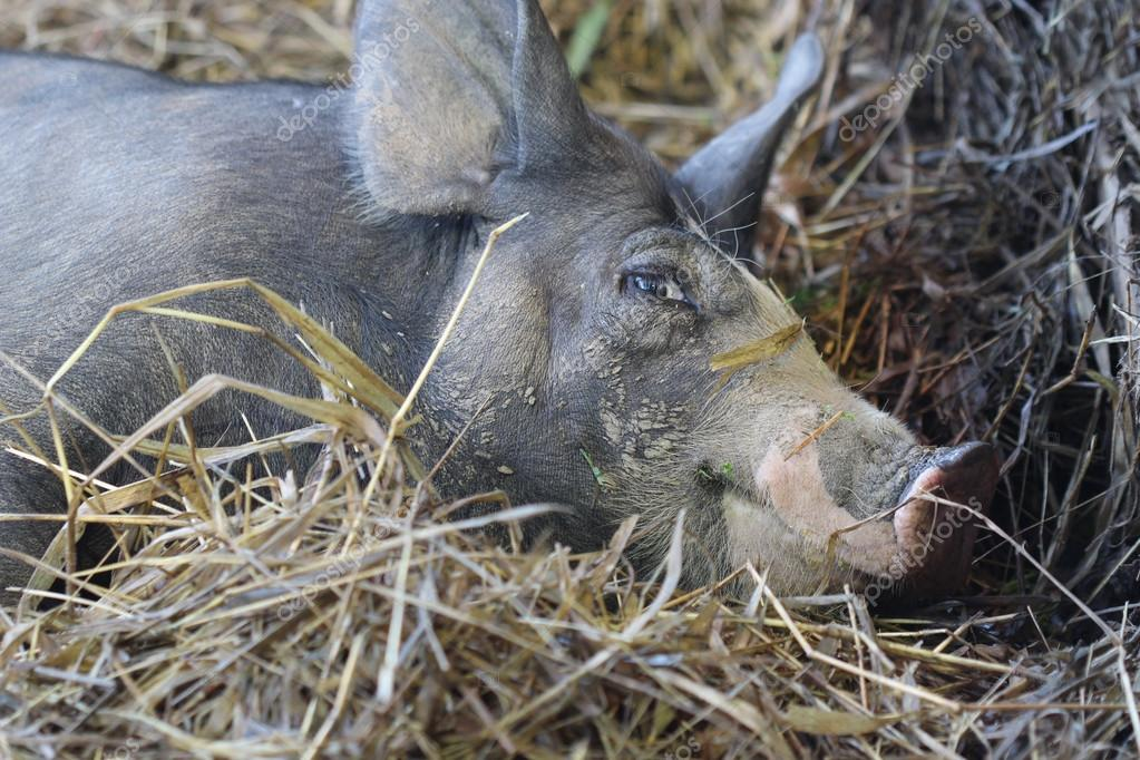 close up black pig in farm