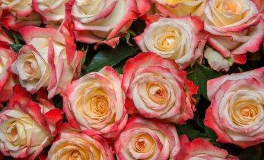 pink Prickly Rose