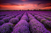 Fotografie Lavender sunset