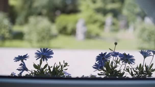 Modré sedmikrásky květiny rostou ve venkovním květináči a houpat ve větru za slunečného dne.