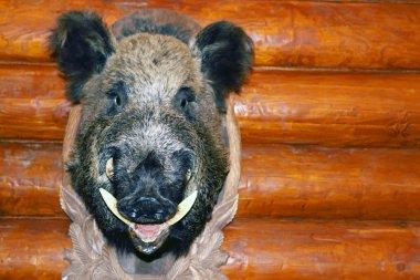 Closeup stuffed wild boar head with big fangs hanging on wooden
