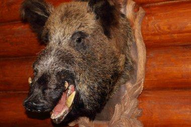Closeup of stuffed wild boar head with fangs hanging on wooden w