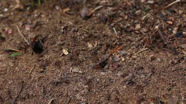 Lots of wood red ants creeps near anthill in search of building material