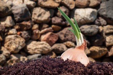 Onion field in the garden stock vector