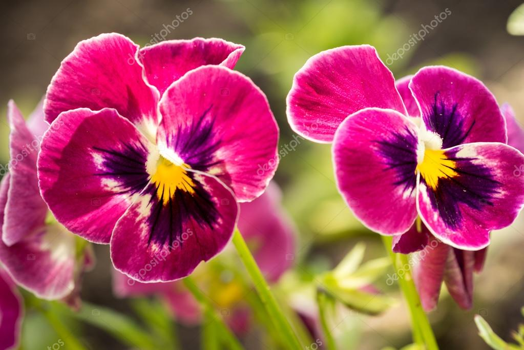 Heartsease (Viola tricolor) fine flowers against a greenish background