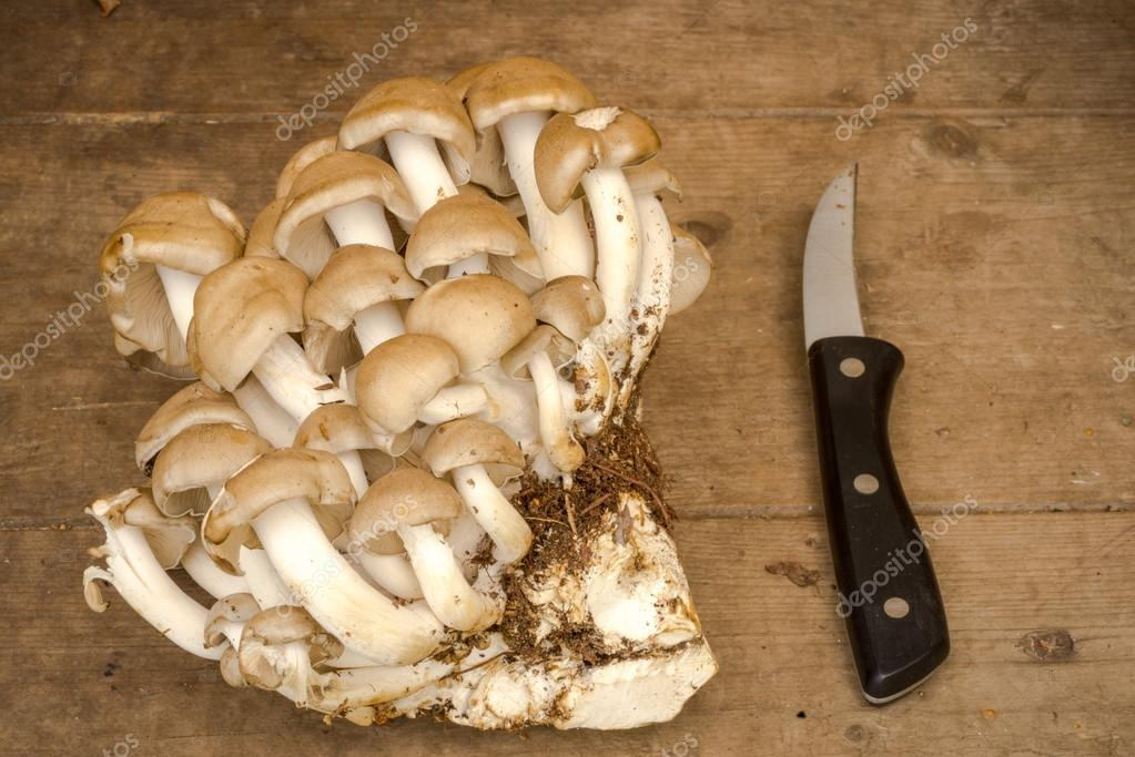 oyster mushroom - Pleurotus cornucopiae, on a wooden background