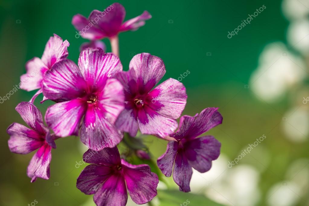 Disegni Piante Erbacee : Fiore viola e rosa rara colorata phlox genere di piante