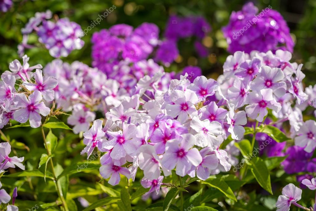 Fleur Violette De Phlox Genre De Plantes Herbacees Avec Beau Bokeh