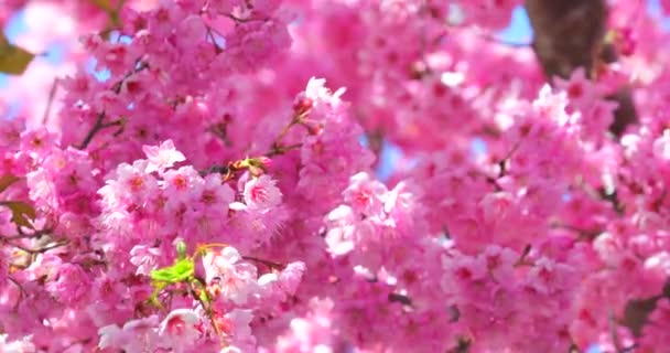 Spring in Taiwan, the season of cherry blossoms, cherry blossoms at Wuling Farm