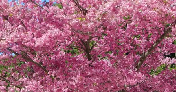 Jaro na Tchaj-wanu, období třešňových květů, třešňových květů na Wuling Farm